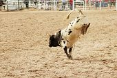 bucking action after the rider had been thrown during the bull rinding competition at a rodeo. poster