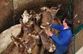 Farmer vaccinating red deer hinds Cervus elephus on a farm in Westland, New Zealand poster