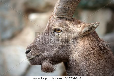 The Alpine ibex (Capra ibex), also known as the Steinbock is a species of wild goat that lives in the mountains of the European Alps. poster