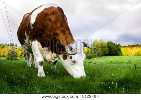Grazing Ox