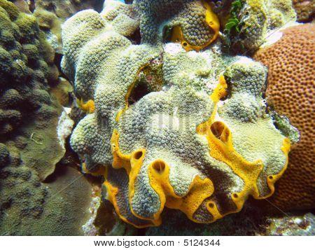 White Coral