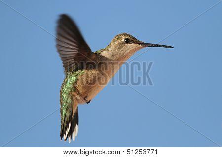Hovering hummer