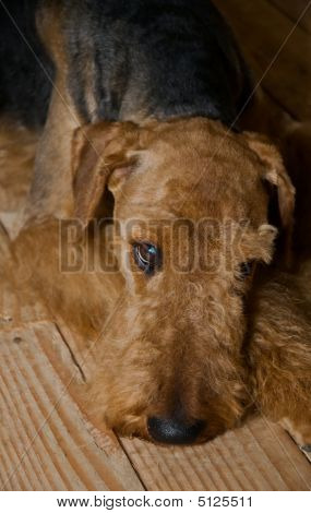 Sad Airedale Terrier Dog Laying On A Wooden Floor