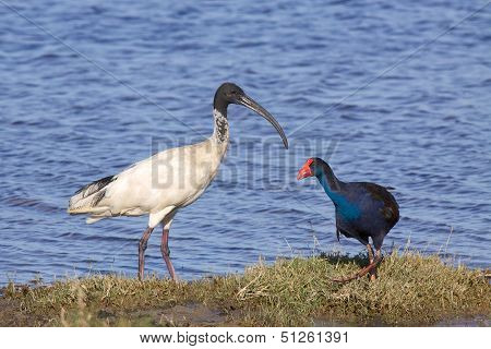 Ibis and Swamphen