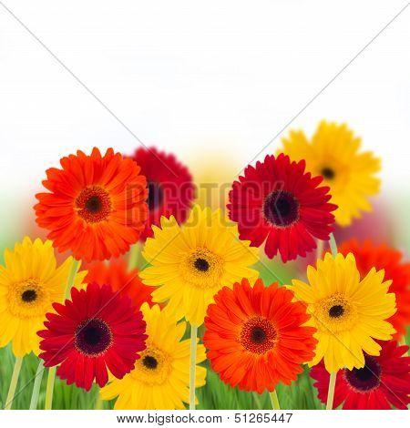 garden of herbera flowers