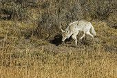 A lone coyote carefully stalking it prey in Yellowstone National Park poster