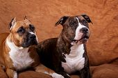Fawn & brindle american staffordshire terriers at home poster
