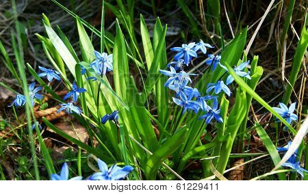 First Spring Blue Flowers