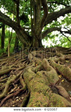 Jamaican Mahogany Tree