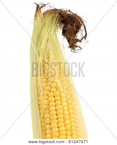 Close up of resh corn ear.