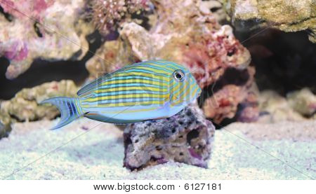 Lined Butterflyfish Female,