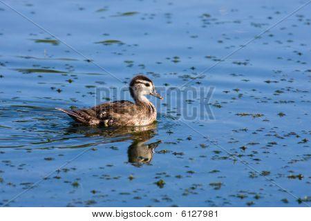 Wood Duck (aix Sponsa) Duckling.