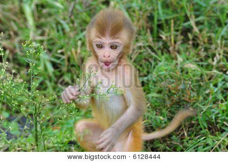 Baby rhesus macaque monkey