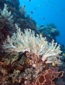 White Soft corals open to feeding on wall of Menjangen Island poster