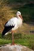 European white stork in autumn standing on rock poster