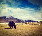Vintage retro hipster style travel image of yak grazing in Himalayas mountains. Ladakh, India poster