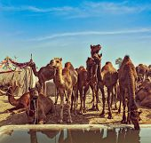 Vintage retro hipster style travel image of Camels at Pushkar Mela (Pushkar Camel Fair). Pushkar, Rajasthan, India poster