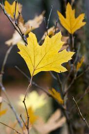 Single Yellow Maple Tree Leaf