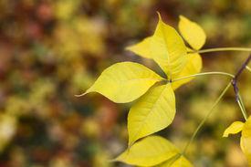Yellow Maple Tree Leaf