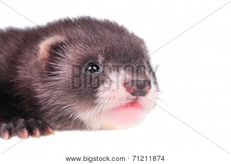 Portrait of a little ferret baby isolated in white background poster