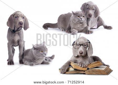 Weimaraner puppy and kitten,  book and dog