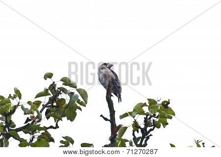 Hawfinch sitting on a branch