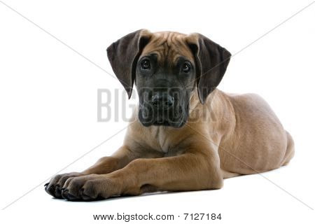 adorable puppy of a great dane