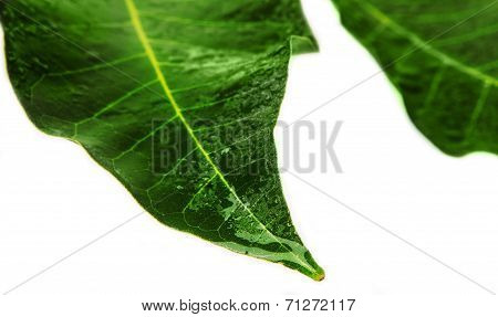 Wet Green leaf with blue water droplets