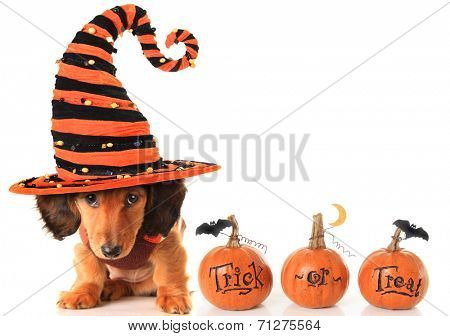 Halloween dachshund puppy wearing a Halloween witch hat plus pumpkins.