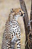 African cheetah looking for prey at the Savannah in Serengeti, Tanzania. poster
