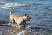 beige healthy dog playing into the water at the beach poster