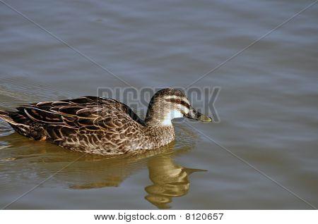 Brown Duck In Water