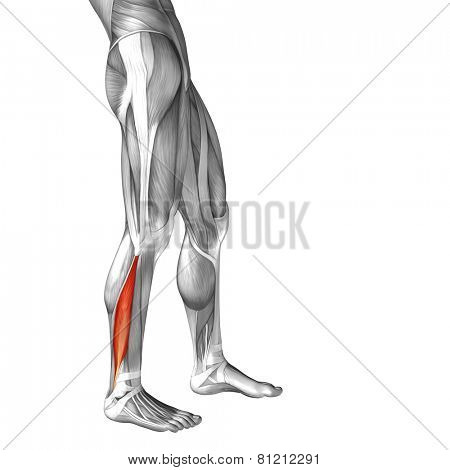 Concept or conceptual 3D peroneus or fibularis longus human lower leg anatomy or anatomical and muscle isolated on white background