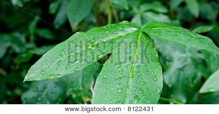 Rain On Three Leaves
