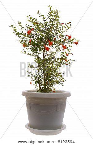 Plant: a room pomegranate (nana punica granatum) on a white background. poster