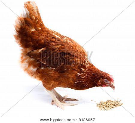 Chicken Hen, Cholera Gallinarium, Gallus Domesticus