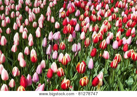 Red and pink  Tulips in Keukenhof Flower Garden,The Netherlands