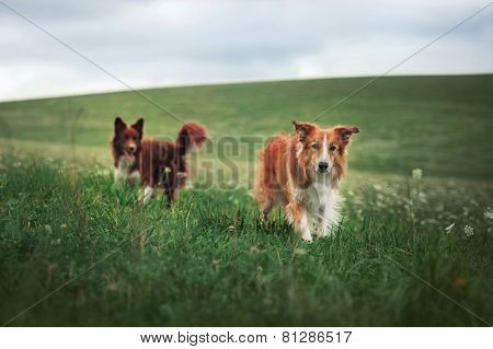 Two Border Collie Dog In A Meadow