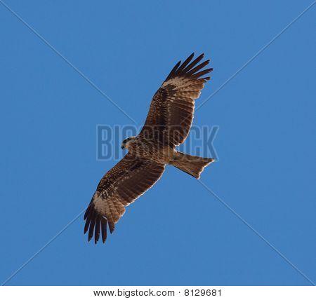 Predatory Bird