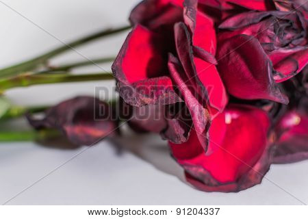 Closeup Of Decaying Red Roses