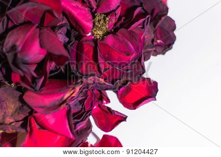 Old and dying rose petals with defocus areas on white background poster