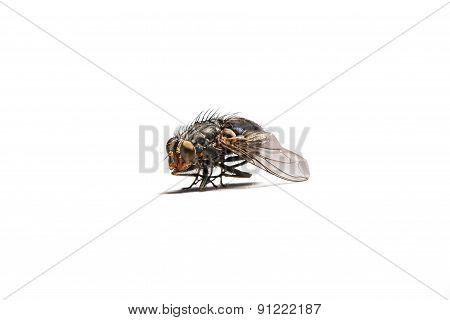Macro Shot Of A Housefly.