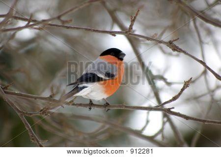 Male Bullfinch