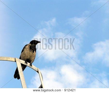 Crow On A Clear Sky