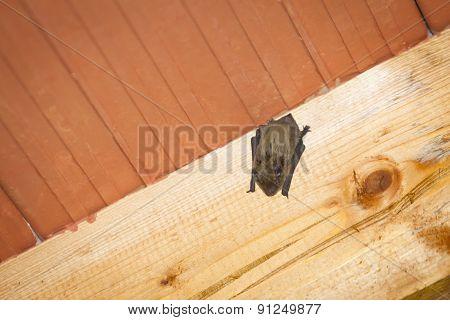 Bat Hanging On Wooden Beam