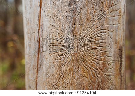 Freakish Traces Of Bug Bark Beetle Into Tree. Dried Tree In Forest Without Bark.