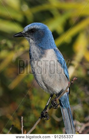 Endangered Florida Scrub-Jay (Aphelocoma coerulescens) perched on a branch with a green background poster
