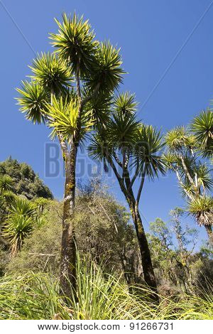 The cabbage tree is one of the most distinctive trees in the New Zealand landscape poster