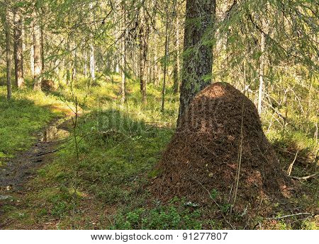 Anthill in the forest next to a trunk, spruce.