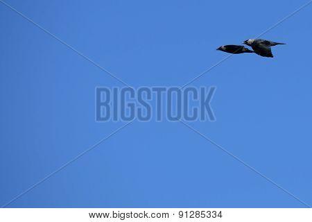 Flying Pair Of Jackdaws